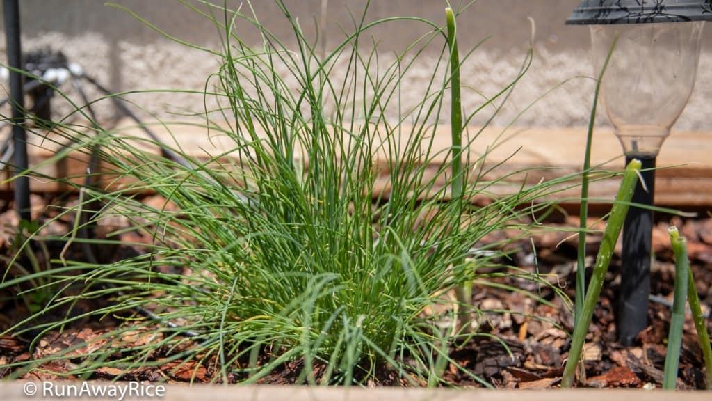 My Gardening Adventures - Chives and Spring Onions | runawayrice.com