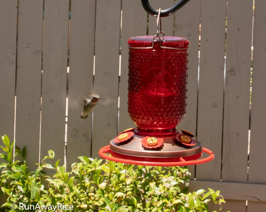 My Gardening Adventures - How to Attract Hummingbirds | runawayrice.com