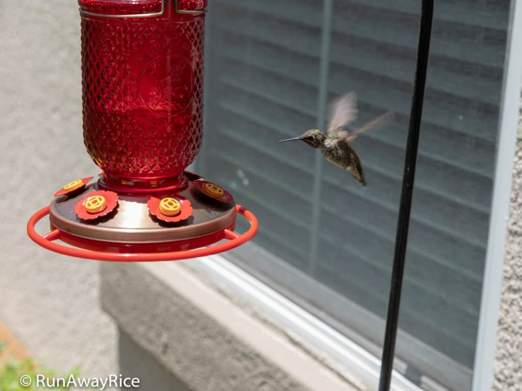 My Gardening Adventures - Hungry Hummingbirds love this homemade nectar! | runawayrice.com