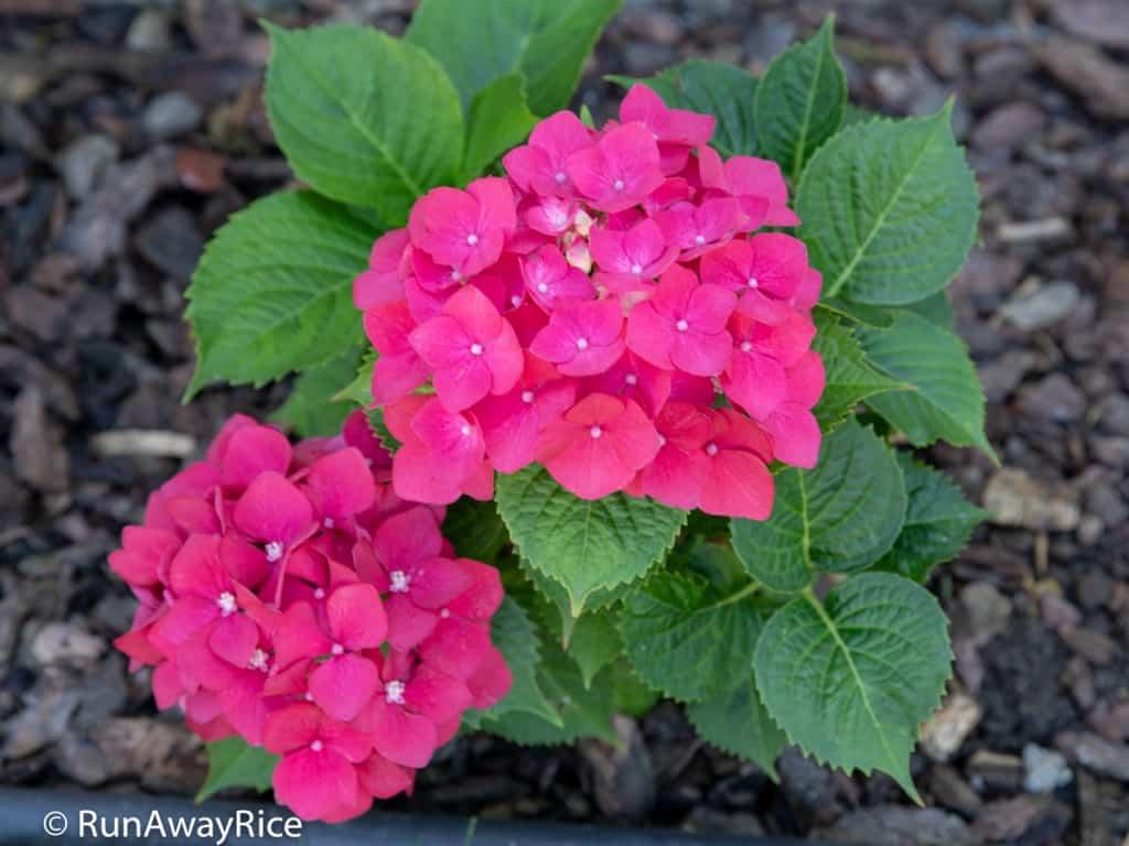 My Gardening Adventures - Bright Pink Hydrangeas | runawayrice.com