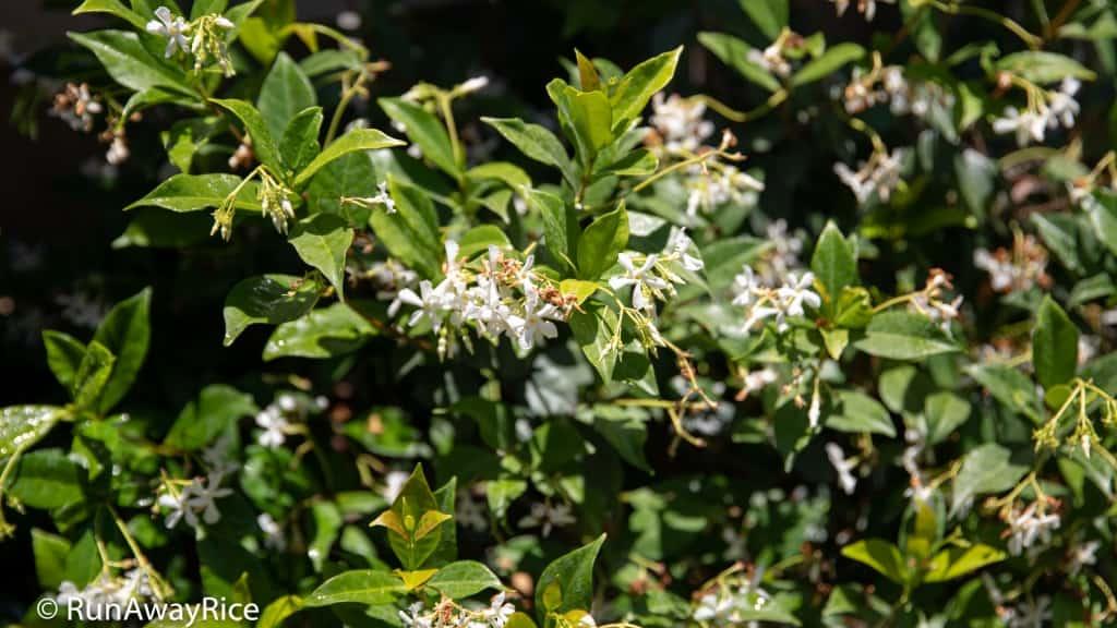 My Gardening Adventures - Fragrant Jasmine | runawayrice.com