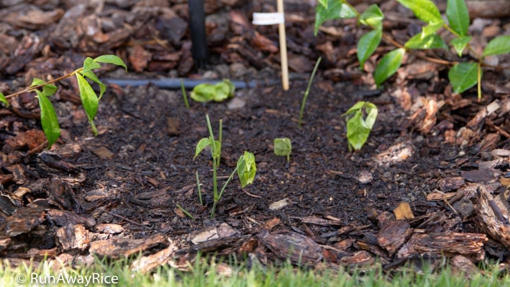 My Gardening Adventures - Lá Cẩm / Magenta Plant / Peristrophe Roxburghiana | runawayrice.com