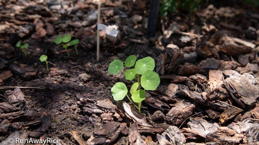 My Gardening Adventures - Nasturium Buds | runawayrice.com