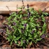 My Gardening Adventures - Thai Basil Must-Have Garden Herb | runawayrice.com
