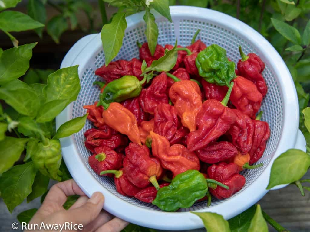 Ghost Pepper / Bhut Jolokia - Fresh from My Garden | runawayrice.com