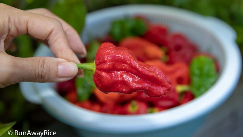Ghost Pepper / Bhut Jolokia - Dare To Eat This Wickedly Hot Pepper? | runawayrice.com